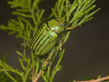 Glorious Scarab Beetle (Chrysina Gloriosa)  Texas  USA