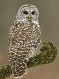 Barred Owl (Strix Varia) Hunting for Prey  Ontario  Canada