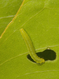 Orange-Barred Sulphur (Phoebis Philea) Caterpillar Feeding on a Senna Leaf