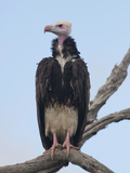 White-Headed Vulture (Trigonoceps Occipitalis)  South Africa