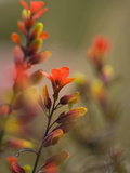 Indian Paintbrush Flowers in Paramo Vegetation  Costa Rica