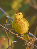 Mangrove or Yellow Warbler (Dendroica Petechia) Perched on a Branch Near the Coast of Ecuador