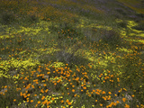 California Poppy  Tansy  and Yellow Coreopsis Spring Wildflowers