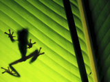 Red-Eyed Tree Frog Silhouette Through a Leaf (Agalychnis Callidryas)  Costa Rica