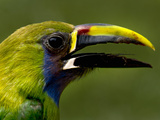 Emerald Toucanet Head  Costa Rica