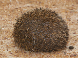 South African Hedgehog (Atelerix Frontalis) in its Coiled Protective Posture  South Africa