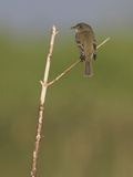 Willow Flycatcher (Empidonax Traillii) Perched on a Branch in Toronto  Ontario  Canada