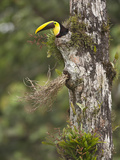 Chestnut-Mandibled Toucan (Ramphastos Swainsonii) at Entrance to Nest in Hole in Rainforest Tree