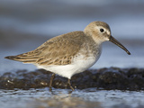 Dunlin (Calidris Alpina) Feeding Along the Shoreline in Victoria  British Columbia  Canada