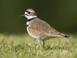 Killdeer (Charadrius Vociferus) in the Grass in Victoria  British Columbia  Canada