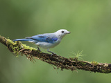 Blue-Gray Tanager (Thraupis Episcopus) on Cloud Forest Branch