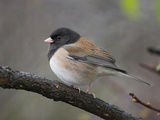 A Dark-Eyed Junco (Junco Hyemalis) Perches on a Branch in Victoria  British Columbia  Canada