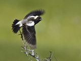 Bobolink (Dolichonyx Oryzivorus) Flying Off a Branch  Ontario  Canada