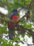 Slaty-Tailed Trogon Male  Costa Rica