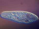Living Paramecium Caudatum Ciliate Protozoa with Contractile Vacuoles  LM X110