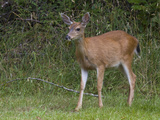 Black-Tailed Deer  Canada