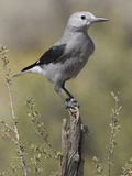 Clark's Nutcracker (Nucifraga Columbiana) Perched on a Branch in Oregon  USA