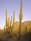Cardon Cactus (Pachycereus Pringlei)  Baja California  Mexico