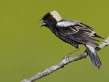 Bobolink (Dolichonyx Oryzivorus) Singing on a Branch  Ontario  Canada