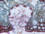 Cross-Section of an Oleander Leaf Showing the Stomatal Crypt (Nerium Oleander)  LM X400