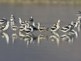 American Avocets (Recurvirostra Americana) Wading in the Water of a Shallow Pond in Alberta