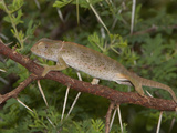 Flap-Necked Chameleon (Chamaeleo Dilepis)  South Africa