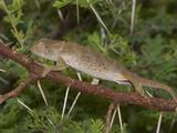Flap-Necked Chameleon (Chamaeleo Dilepis)  South Africa