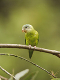 Gray-Cheeked Parakeet (Brotogeris Pyrrhopterus) Perched on a Branch at Buenaventura Lodge