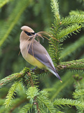 Cedar Waxwing (Bombycilla Cedrorum) with Nest Material in its Mouth  Pennsylvania  USA