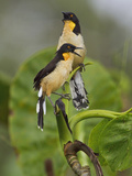 Black-Capped Donacobius (Donacobius Atricapillus) Perched on a Branch
