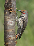 Northern Flicker (Colaptes Auratus) Perched on a Tree Trunk  Victoria  British Columbia  Canada