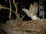 Male Ruffed Grouse (Bonasa Umbellus) Drumming Display