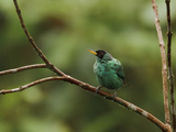 Green Honeycreeper (Chlorophanes Spiza) Perched on a Branch  Milpe Reserve  Ecuador