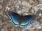 White Admiral or Red-Spotted Purple (Limenitis Arthemis)  Maryland  USA