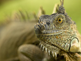 Green Iguana (Iguana Iguana)  Costa Rica