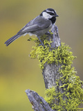 Mountain Chickadee (Poecile Gambeli) Perched on a Branch  Oregon  USA