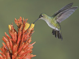 Many-Spotted Hummingbird (Taphrospilus Hypostictus) Hovering and Feeding at a Red Tubular Flower