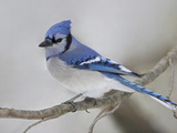 Blue Jay (Cyanocitta Cristata) Perched on a Branch with a Snowy Background in Ontario  Canada