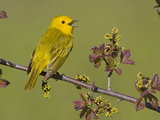 Yellow Warbler (Dendroica Petechia) Singing on a Branch  Ontario  Canada