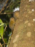 Young Pygmy Marmosets (Callithrix Pygmaea) Climbing on a Tree  Tamshiyacu-Tahuayo Reserve  Peru