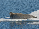 Bearded Seal (Erignathus Barbatus)  Arctic Ocean