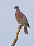Pale-Vented Pigeon (Columba Cayennensis) Perched on a Branch Near the Napo River