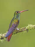 Rufous-Tailed Hummingbird (Amazilia Tzacatl) Perched on a Branch in the Milpe Reserve