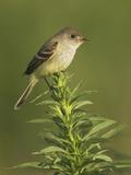 Willow Flycatcher (Empidonax Traillii)  Toronto  Ontario  Canada