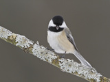 Black-Capped Chickadee (Poecile Atricapillus) Perched on a Branch  Ottawa  Ontario  Canada