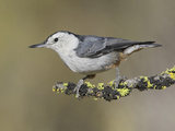 White-Breasted Nuthatch (Sitta Carolinensis) Perched on a Branch in Oregon  USA