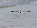 Black Skimmer (Rynchops Niger) Foraging for Fish by Skimming the Water&#39;s Surface