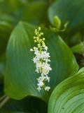 False Lily of the Valley (Maianthemum Dilatatum)  Mendocino  California  USA  Family Liliaceae