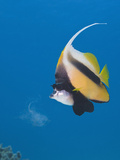 Red Sea Bannerfish (Heniochus Intermedius) Ras Mohammed  Sinai  Red Sea  Egypt
