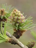 European Larch New Cone and Needles in Spring (Larix Decidua)  Scotland